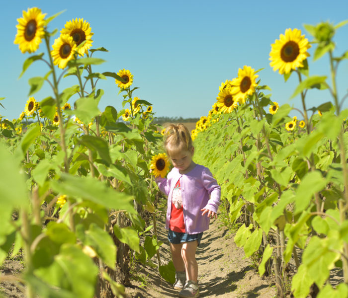 You-Pick Strawberries & Sunflowers At Southern Hill Farms